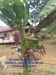 Pisang Aneh di Desa Binjai Punggal Pernah Ditawar Rp 400 Ribu