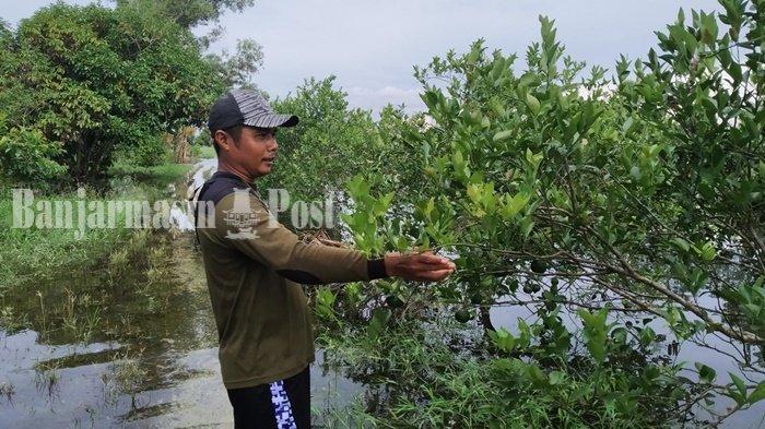 Dinas Tanaman Pangan Kalsel Akan Bantu Petani Jeruk yang Terdampak Banjir