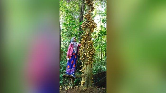 Wisata Kalsel : Pohon Limpasu Berbuah Lebat Jadi Spot, Favorit Sebelum Tiba di Air Terjun Andikian