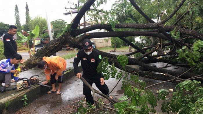Diterjang Hujan dan Angin Ribut, Pohon Tumbang di Jalan Datu Nuraya Kabupaten Tapin