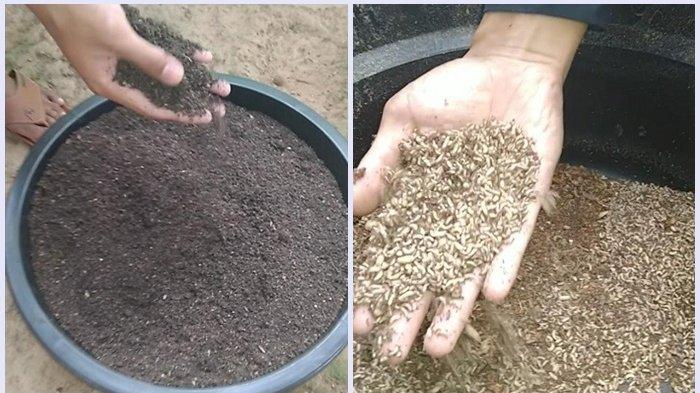 Limbah Sisa Makanan Ulat Maggot Jadi Pupuk Organik, Ini Kelebihannya