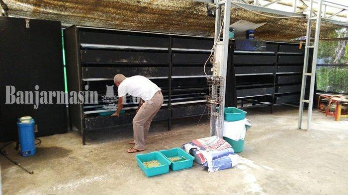 Wisata Kalsel, Pangsa Pasar Utama Ulat Maggot Tabalong Adalah Pehobi Burung dan Ikan