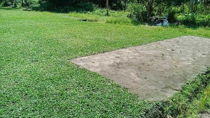 Wisata Kalsel, Mau Lihat Hamparan Rumput Gajah Mini, Ayo ke Kelurahan Syamsuddin Noor