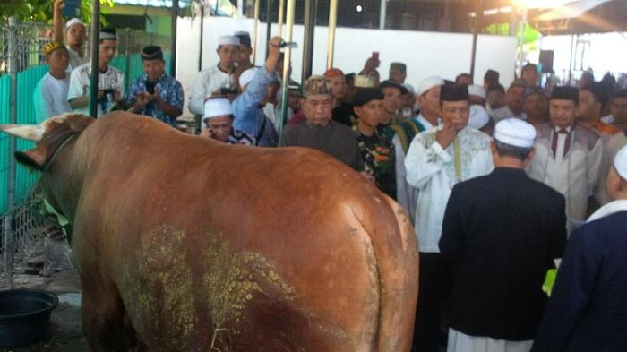 Sapi bantuan Presiden Joko Widodo di area samping Masjid Raya Sabilal Muhtadin Banjarmasin dimomen hari raya Idul Adha, Senin (12/9/2016).