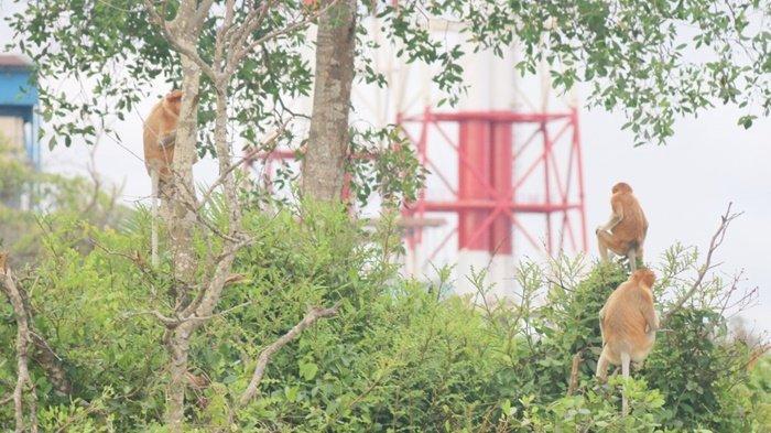 Sekelompok bekantan di antara pepohonan lebat di area konservasi yang disediakan PLTU Asam-asam, Jorong, Kabupaten Tanah Laut, Kalimantan Selatan.