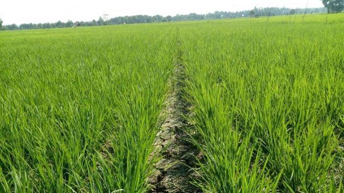 800 Hektar Padi Unggul di Desa Pandulangan Tapin Kekeringan Terancam Gagal Panen