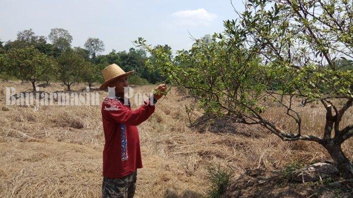 Dinas Tanaman Pangan Batola Tanggapi Keluhan Petani Jeruk Soal Hasil Panen Kurang Berair