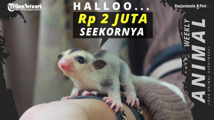 WEEKLY ANIMAL - Lucunya Bayi Sugar Glider Bisa Menangis, Harga Ratusan Ribu Sampai Jutaan Rupiah