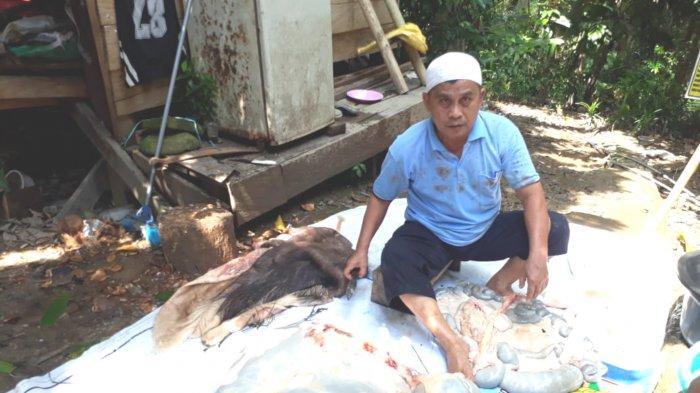 Tak Pasang Tarif, Pensiunan KPPN di Kotabaru Sembelih 20 Ekor Sapi per Hari