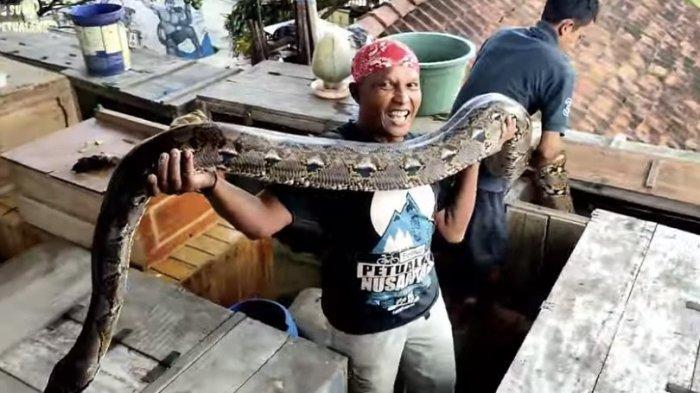 Penampakan Ular Piton 7 Meter Milik Suwa, Tak Kalah dari Dewi Piton Kepunyaan Panji Petualang