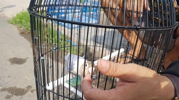 Punya Hobi Burung Berkicau Syamsu Rahmat Jadi Terbiasa Bangun Pagi Banjarmasin Post