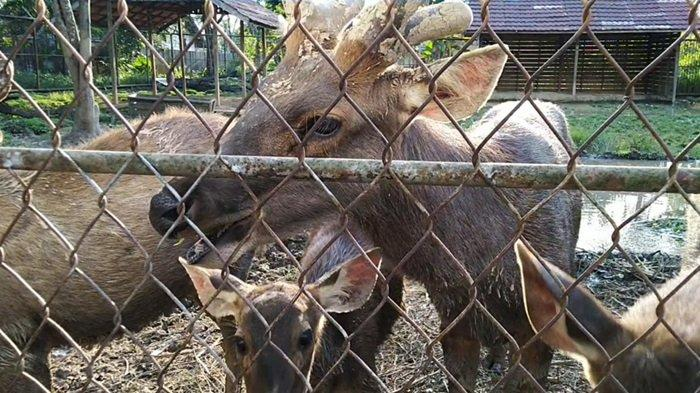 Rusa Sambar yang ada dalam kandang konservasi Taman 10K Murung Pudak Kabupaten Tabalong