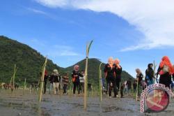 10.000 Mangrove Ditanam di Sungai Loban