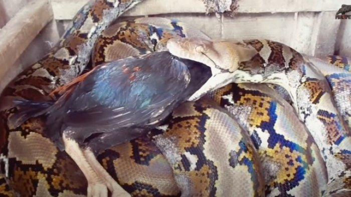 Panji Petualang Ungkap Nasib Terkini Ular yang Menyerang Heru Gundul, 11 Ekor Ayam Dilahap