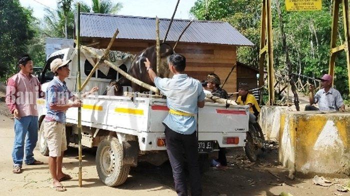 Umat Hindu di Rantau Parupuk Ikut Jemput Sapi Kurban Bantuan Baznas HST Kalsel untuk Mualaf