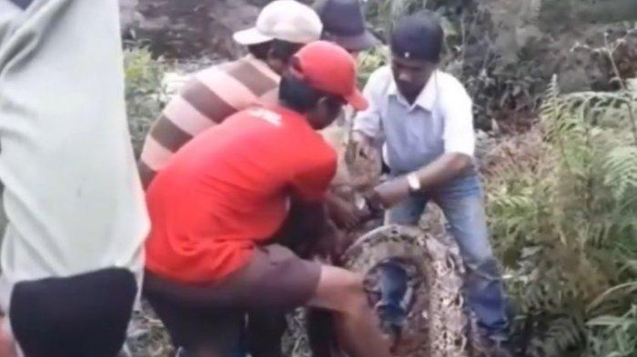 Video Viral Warga Tangkap Ular Piton 200 Kg, Perutnya Buncit, Ternyata Ini yang Dimakannya