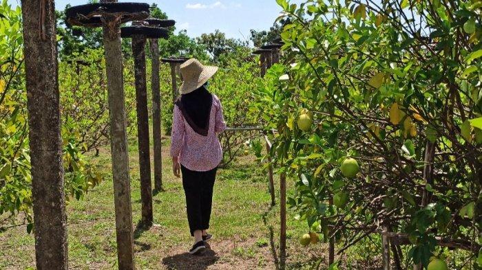 Wisata Kalsel, Pengunjung Masuk Gratis Lho ke Wisata Petik Lemon di Banjarbaru
