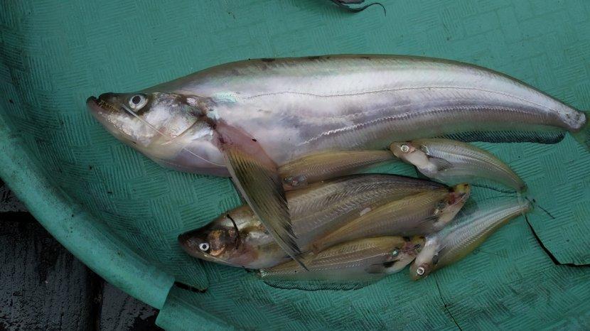 Ikan Lais Predator Yang Jadi Primadona Di Kalangan Masyarakat Kalsel Banjarmasin Post