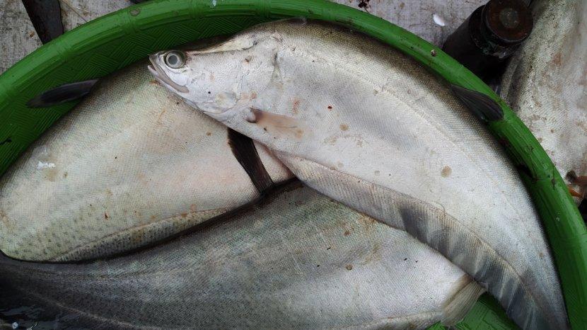 Dalam Istilah Banjar Kata Baung Berkonotasi Negatif Sejatinya Ikan Baung Termasuk Lauk Favorit Banjarmasin Post