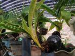 20201128_tab_bonsai-kelapa-yang-dijua-aten-barito-kuala_2.jpg