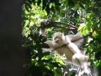 alba-salah-satu-orangutan-paskapelepasliaran.jpg