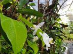 anggrek-bulan-pelaihari-yang-melengkapi-orchid-park.jpg