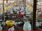 ayam-jenis-broiler-di-sebuah-peternakan-22032021-22032021.jpg