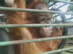 bayi-orangutan_20170218_203443.jpg