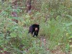 beruang-madu-yang-pernah-ditangkap-di-muara-uya-tabalong_20180923_105917.jpg