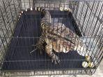 biawak-asal-argentina-hewan-peliharaan-milikferryansyah.jpg