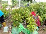 bibit-durian.jpg