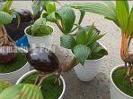 bongsai-kelapa-di-pasar-tanaman-hias-di-kertak-hanyar-kabupaten-banjar-kalsel-minggu-14022021.jpg