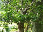bonsai-anggur-brasil.jpg