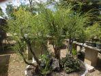 bonsai-cucur-atap.jpg