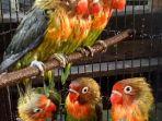 burung-love-bird_20180911_085600.jpg