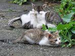 desa-kucing-di-tawain-houtong.jpg