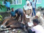 dinas-ketahanan-pangan-kotabaru-saat-menyembelih-sapi-untuk-kurban.jpg