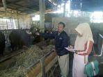 dinas-pertanian-tapin-memeriksa-kesehatan-sapi_20180820_184943.jpg