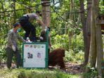 enam-ekor-orangutan-dilepasliarkan-di-hutan-untuk-berlatih_20181106_105445.jpg