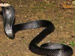 equatorial-spitting-cobra.jpg