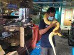 ferryansyah-pencinta-reptil-saat-bermain-bersma-ular-albino-miliknya.jpg