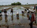 food-estate-pokmas-desa-talio-kabupten-pulang-pisau-kalteng-5112020.jpg