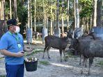 gubernur-kalteng-aran-rusa-di-pangkalanbun-kabupaten-kotawaringin-barat.jpg