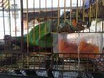 iguana-hewan-peliharaan-milikferryansyah-warga-gang-merdeka.jpg