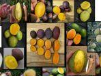 inilah-berbagai-macam-dan-jenis-buah-kasturi.jpg