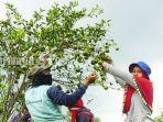 jeruk-siam-banjar-produk-unggulan-kabupaten-batola-kalsel-sabtu-12062021.jpg