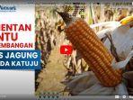 kementerian-pertanian-bantu-pengembangan-jenis-jagung-hibrida-katuju-tanahlaut.jpg