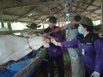 kepala-bidang-peternakan-dinas-pertanian-kabupaten-balangan-ayu-asrinandi-memeriksa-kondisi-sapi.jpg