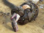 king-cobra-ditemukan-mati-tercekik-dalam-lilitan-musuhnya_20180204_060832.jpg