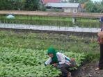 lahan-tanaman-sayur-di-kawasan-landasan-ulin-banjarbaru.jpg